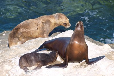 Sea lion mother and her baby