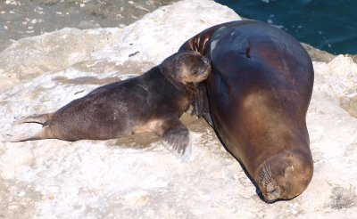 Sea lion mother