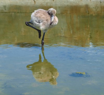 young Flamingo