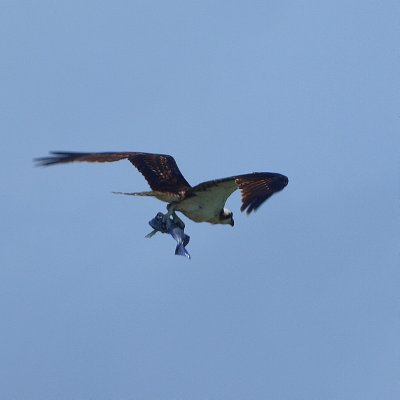 Osprey and his catch