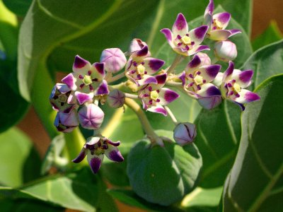 Catuna di Seda flower