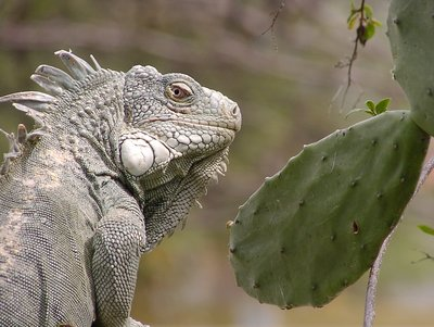 Iguana and Cactus tree