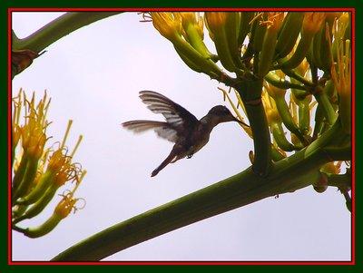 Hummingbird/Agaven Flowers, Serie