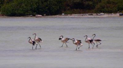 Flamingo youngsters