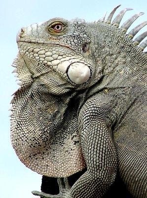 Leguan/Iguana/Bonaire