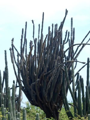 Cactus tree