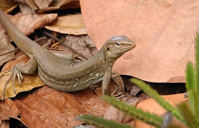 female Lizzard/Lagadishi