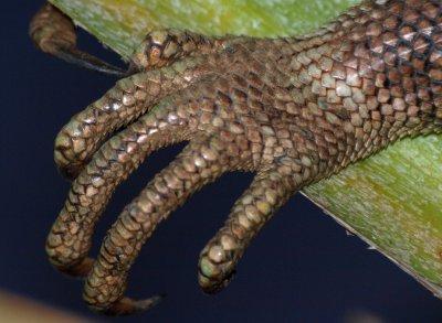 Iguana hand
