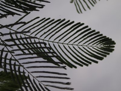 Flamboyan leafs against sky