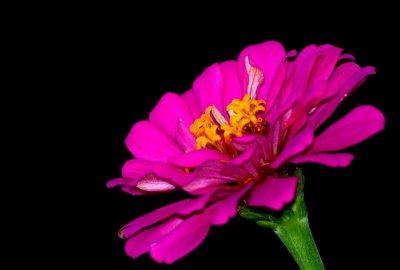 pink Zinia