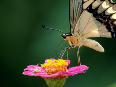 Nectar drinking Butterfly