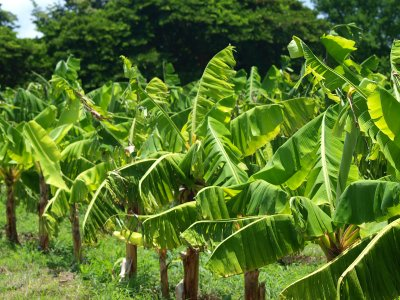 Banana plants