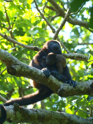 howler Monkey Mother and Baby