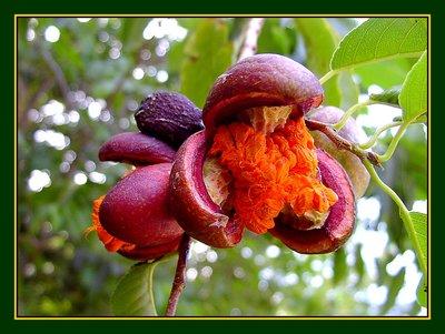 Manzanilla,toxic apple
