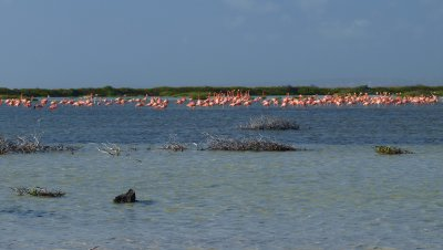big flamingo group at the salinas