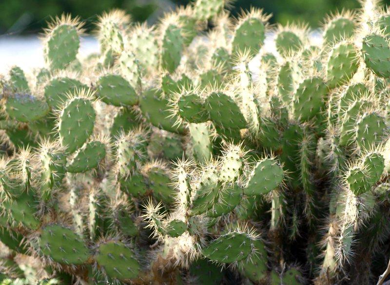 cactus bush