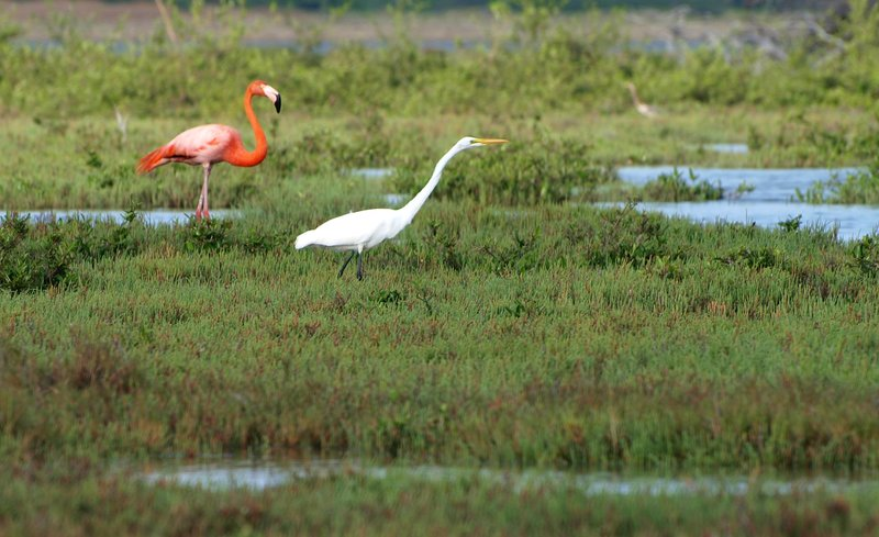 Flamingo and white Egrett