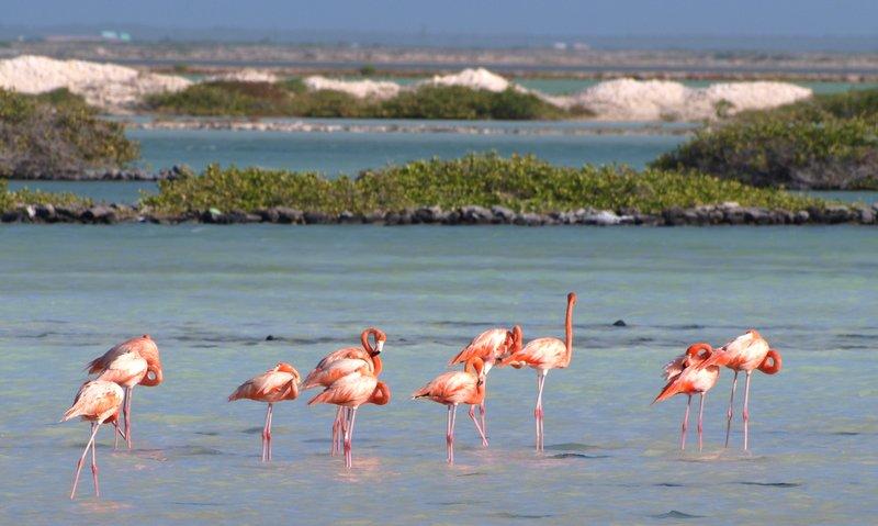 Flamingos