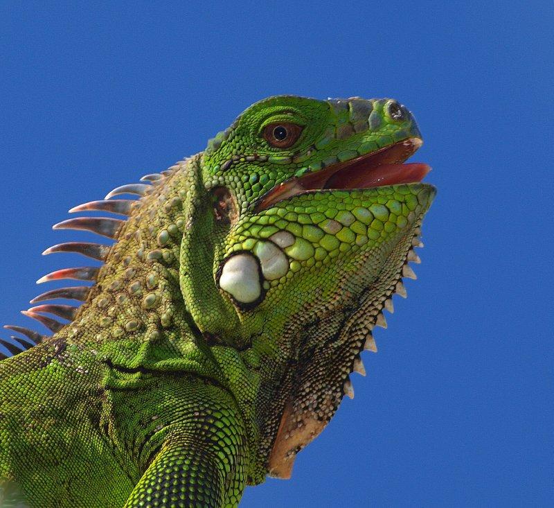 Iguana smile