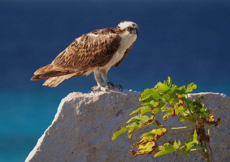 Osprey at Pink Beach