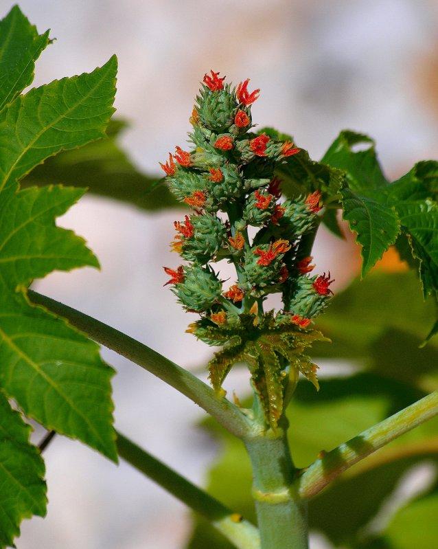 rizinus plant