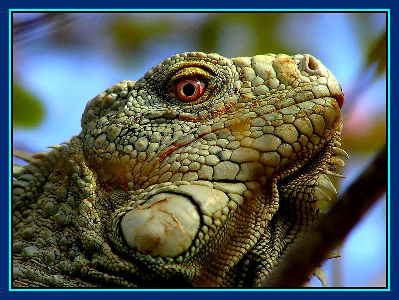 """Big Iguana is watching you"""
