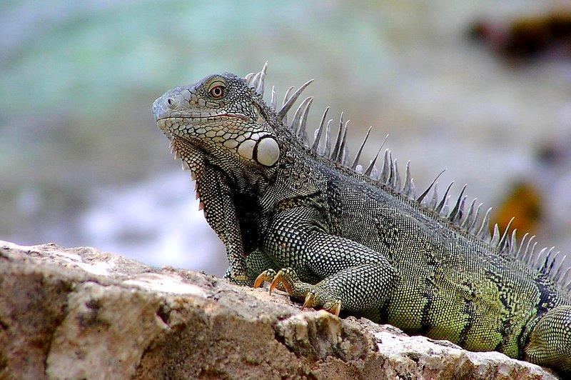 Iguana at 1000 steps