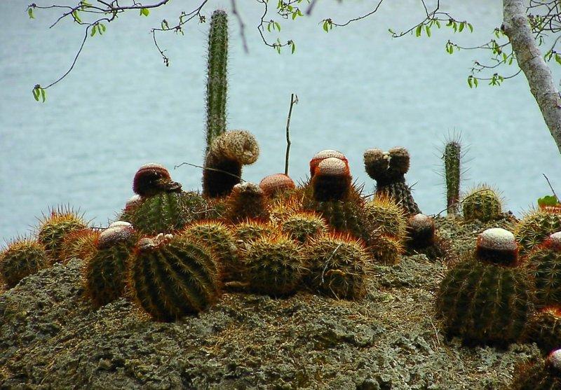 cactus,cactus,cactus