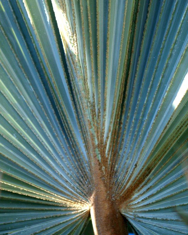 palmleef
