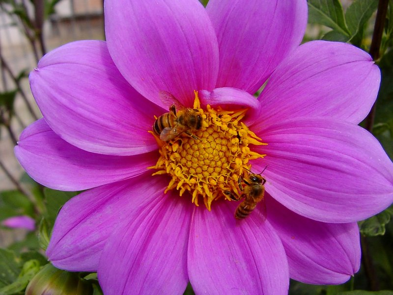 Dahlia Flower and Bees