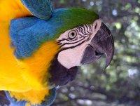 blue and yellow Ara