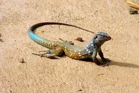 male Lizzard
