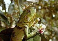 Iguana Baby
