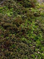 Falkland plants
