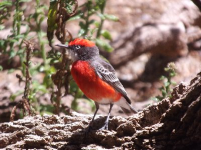 Red Chat at the Desert Parks