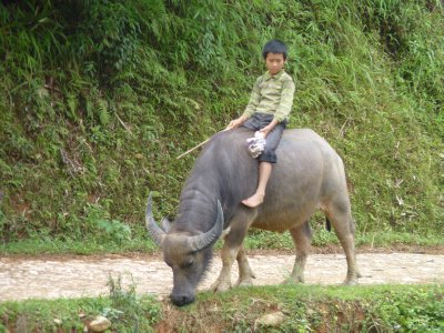 Kids riding a Water Buffalo in Sapa
