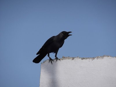 The adaptable crow