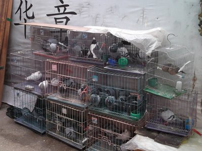Caged Pigeons