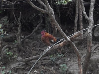 Himalayan Solitary Rooster