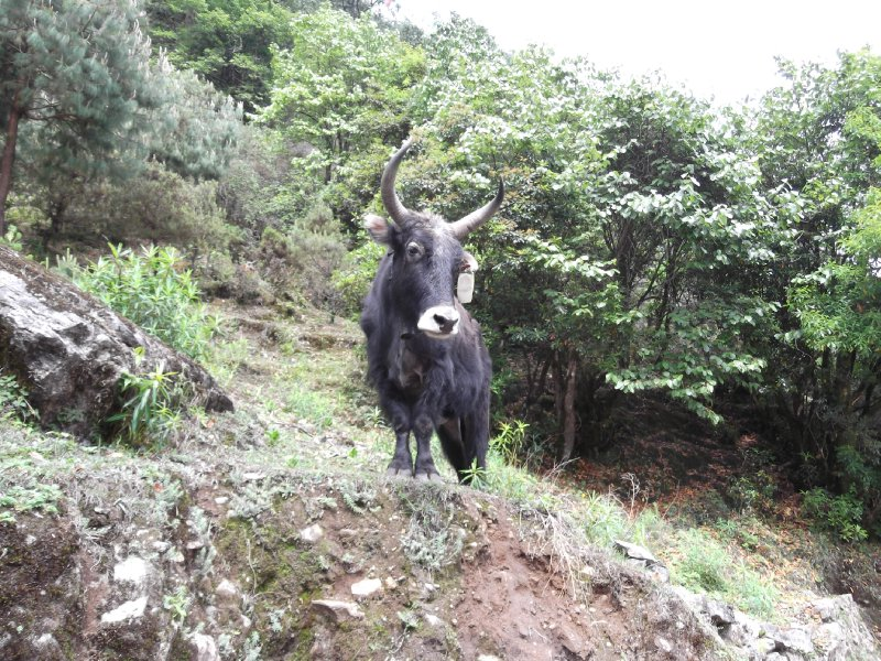 A yak, looking down at me.