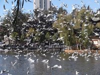 Flock of Red Beaked Seagulls