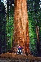 Sequoia Tree, Sequoia National Park, California