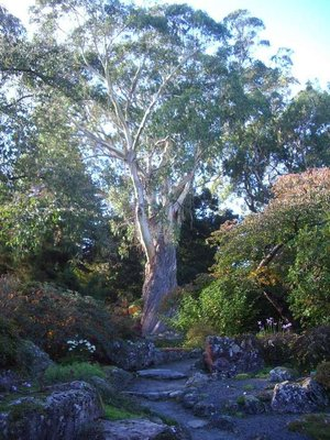 Nice Eucalypt
