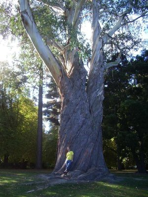 Nick with a giant eucalypt