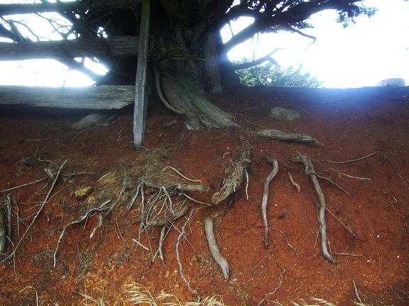 Tree root in red earth