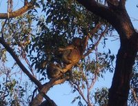 Mother and Baby Koala