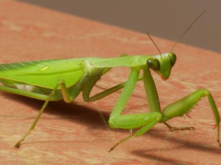 large_mantis.jpg