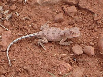lizzard - kings canyon