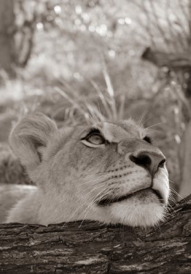 dreamy lion