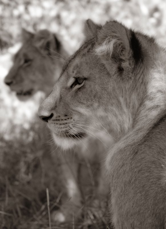 Lions looking